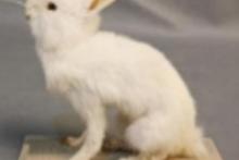 Mô hình con thỏ nhà