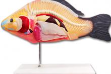 Mô hình cấu tạo con cá