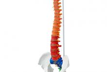 Mô hình Cột Sống với xương chậu