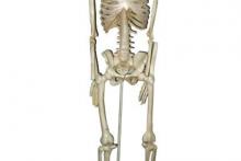 Mô Hình Cấu Tạo Xương Người 85cm