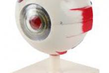 Mô hình mắt người