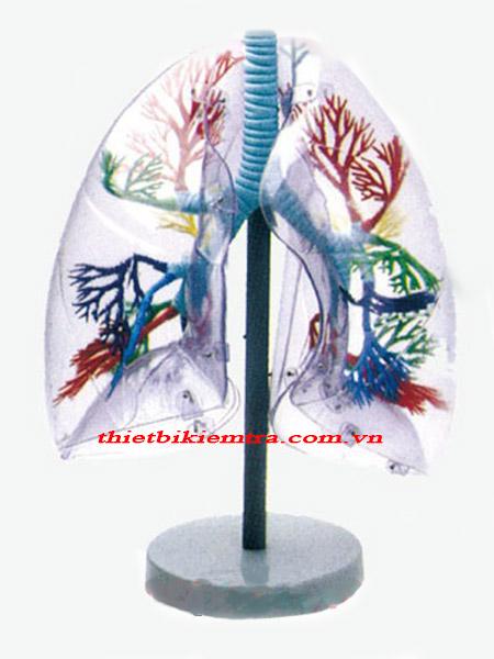 Mô hình giải phẫu phổi ở người GD/A13013