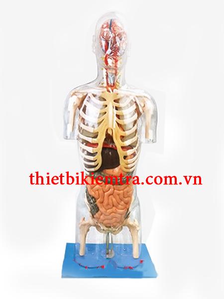 Mô hình giải phẫu nội tạng người GD/A10004
