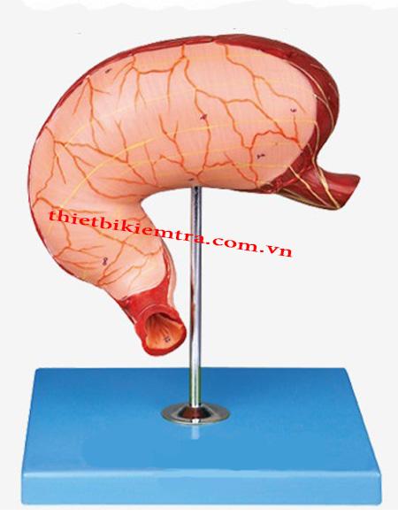Mô hình giải phẫu dạ dày ở người GD/A12002
